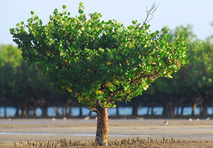 Mangroves (Blue Carbon) in the Lamu area, on the Indian Ocean coast of Kenya (Photo: Peter Prokosch)
