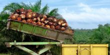 A batch of palm oil fruit bunches in Borneo. Demand for palm oil is set to double by 2030. Photo: Rainforest Action Network