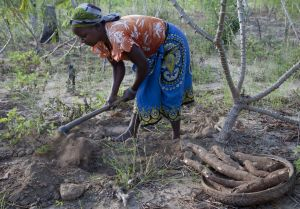 Mozambique: A woman harvests casava from her family's field (Photo: Mike Goldwater)