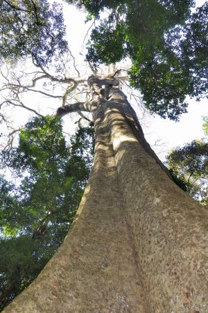 The Big Tree in the Chirinda Forest is reputed to be 1,000 years old (Photo: Andrew Ashton, Creative Commons via Flickr)