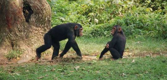 A scheme that pays farmers to protect the habitats of Ugandan chimpanzees will be discussed at IIED's PES event in March (Credit: The Dilly Lama, via Creative Commons http://creativecommons.org/licenses/by/2.0/)