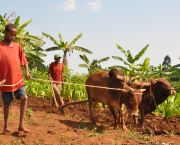 A father and son plough a field in Ethiopia. For Ethiopia's smallholder farmers, oxen are still the main source of agricultural power. It is one of the world's least developed countries, making it more vulnerable to climate change (Photo: Bjvisser, Creative Commons via Wikipedia)