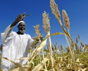 Man harvests sorghum seeds.