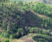 Smallholder forest-farm in Myanmar