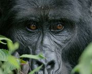 Mitunu, a female of the Mubare gorilla group in Bwindi Impenetrable National Park, is one of the few remaining critically endangered mountain gorillas left in the wild. CTPH programs promote health and conservation to save Mitunu and her family (Photo: Ryoma Otsuka)