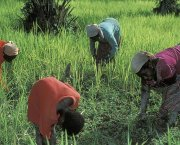 Four women farmers bend over to work their land