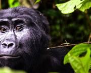Gorilla in Bwindi Impenetrable National Park, Uganda.