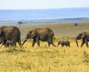Four elephants roam the plain on the Maasai Mara, Kenya