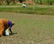 A women farmer tends crops on a dried river pond