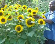A farmer tending his sunflowers in Kenya. Credit: Abbi Buxton