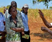 Makueni County: farmers in Kenya learn about crops for climate adaptation planning. Makueni was the first county to enact the new climate finance legislation (Photo: S.Kilungu/CCFAS, Creative Commons via Flickr)