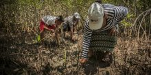 Restoring mangroves (Photo: Orsibal Ramírez/IUCN)