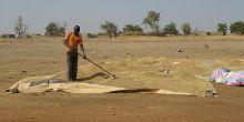 A farmer near Bagré dam in Burkina Faso dries paddy rice (Photo: Barbara Adolph/IIED)