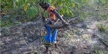 Meceburi Forest, Mozambique: a young woman harvests casava (Photo: Mike  Goldwater/IIED)