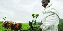 Oxen plough a field in Ethiopia.