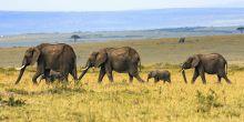 Four elephants roam the plain on the Maasai Mara, Kenya