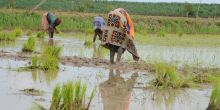 GWI influence - access and rights to irrigated land - planting rice - Selingue dam - Mali