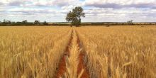 An example of crops grown through no-till farming in Western Australia (Photo: Bill Crabtree)