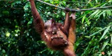 A baby orangutan clings to its mother as she hangs from a branch