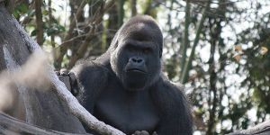 A great ape (Photo: Noodlefish)