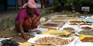 Drying medicinal plants, the knowledge of which is passed down through generations. In South Asia alone, there are more than 8,000 plant species with known medicinal value.Photo: Bioversity International/B. Sthapit