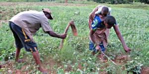 Farmers tend crops in a field