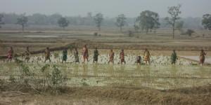Indian women working a rice field