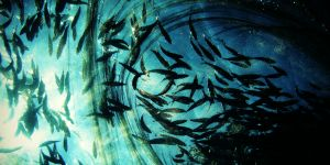 A shoal of muguraan circle above a bait net