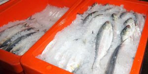 Plastic boxes containing fish and ice
