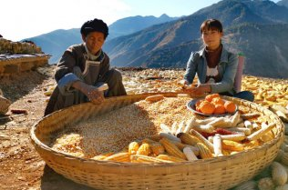 Two women collecting maize seeds