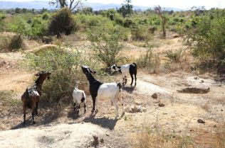 Goats gather by the site of abandoned pits