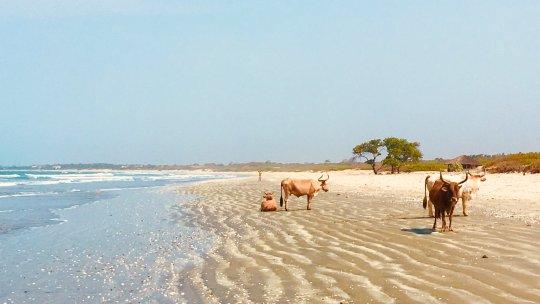 A beach with cows
