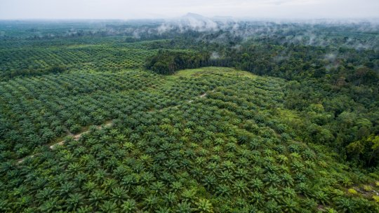 aerial view of an oil palm plantation