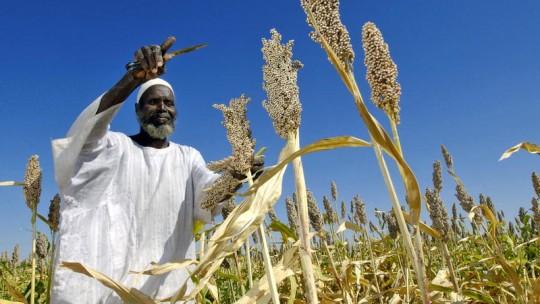 Man harvests sorghum seeds.
