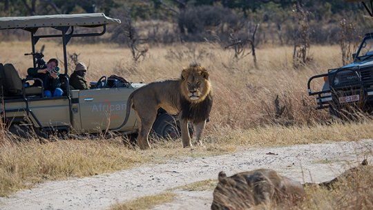 Cecil the lion, who was controversially hunted and killed last week, is pictured in 2014. But a ban on trophy hunting may not save lions and have unintended consequences (Photo: Vince O'Sullivan, Creative Commons, via Flickr)