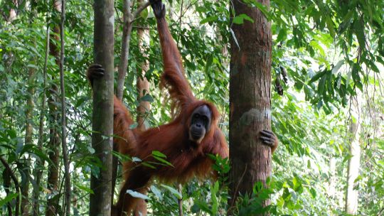 Palm oil plantations are destroying the habitat of orangutans in Borneo. Multinationals say they are committed to sustainable production but deforestation, road building and land clearing are continuing (Photo: Seb Ruiz via Creative Commons)
