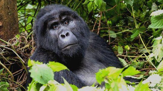 A mountain gorilla