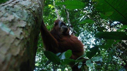 An orangutan swinging between trees