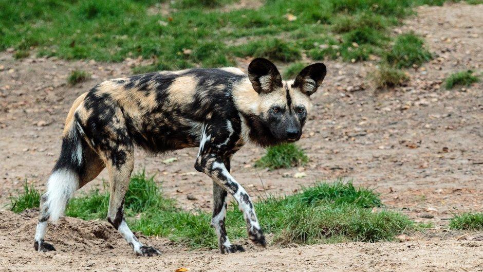 An African wild dog